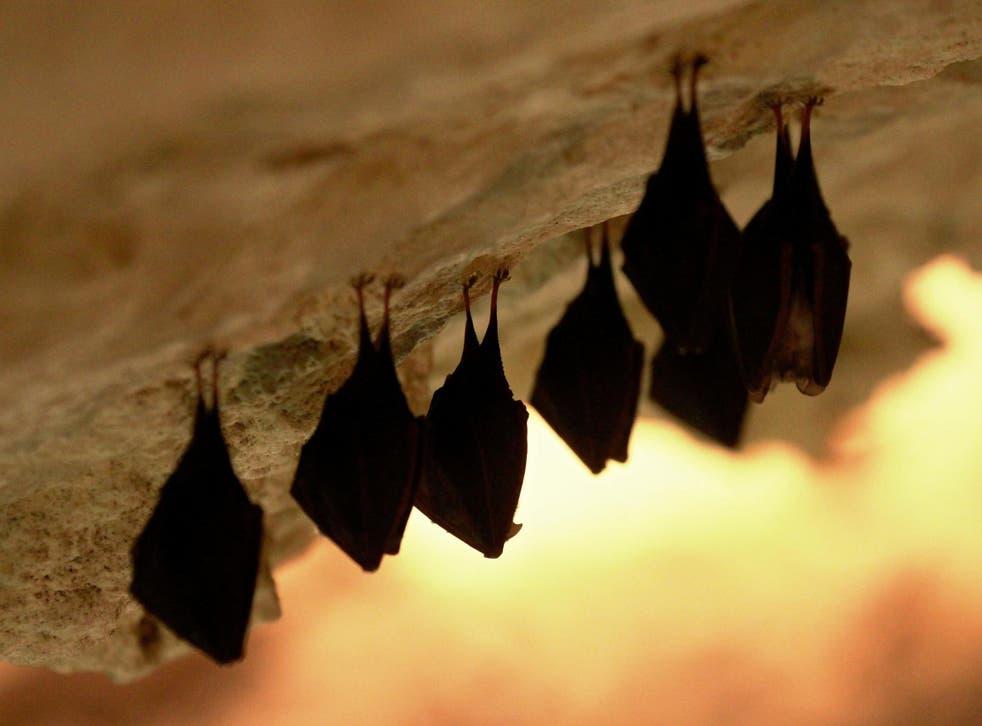 Los investigadores creen que el coronavirus saltó de los murciélagos a los humanos a través de un animal intermediario