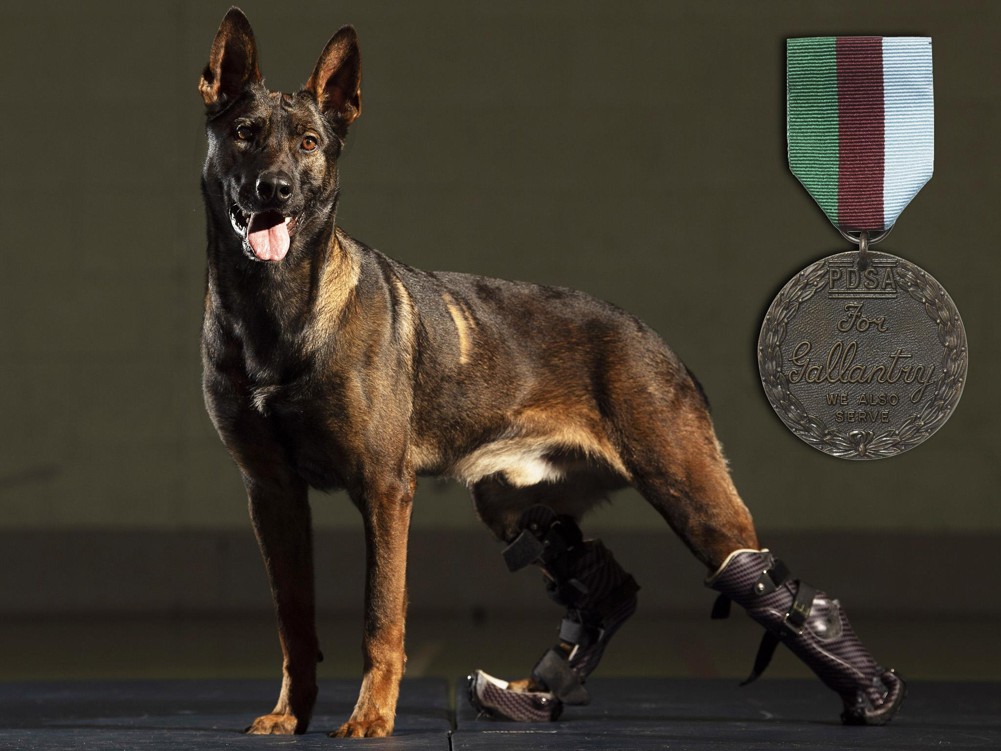 Kuno: Military dog to receive UK's highest honour for animals after he was injured tackling al-Qaeda gunman | The Independent | Independent