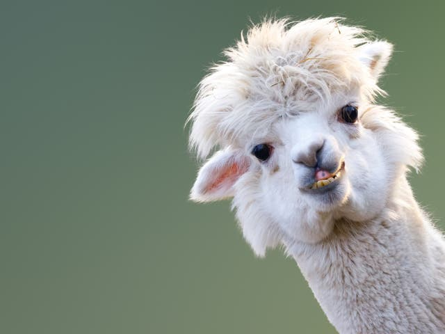 An alpaca named Tyson showed a strong immune response against infection with the virus which causes Covid-19