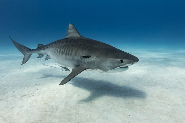 <p>'Problem sharks'exist among species such as bull and tiger sharks </p>