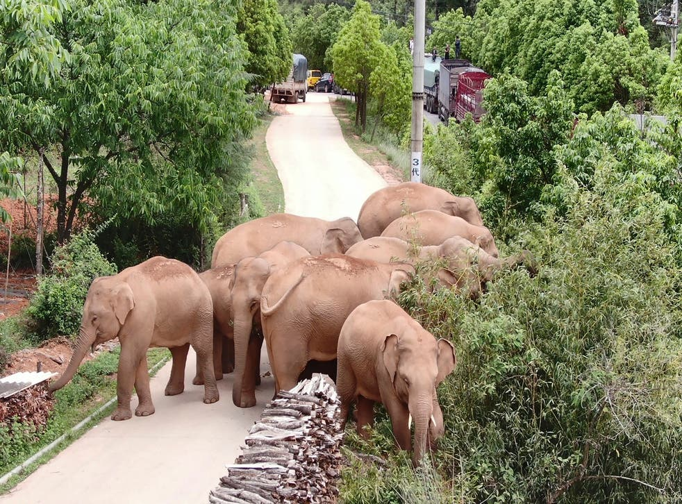 <p>FILE. A male elephant that had separated from a herd that had been wandering southwest China has been returned to its nature reserve by authorities. </p>